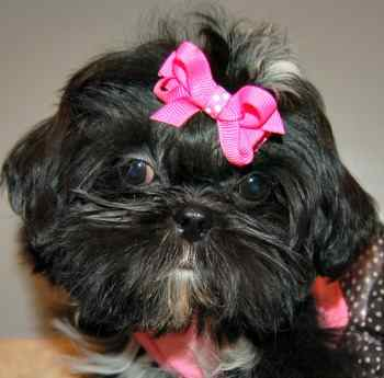 12-week old Shih Tzu:  Black