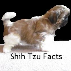 Shih Tzu Facts