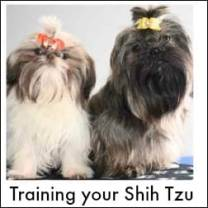 Training the Shih Tzu