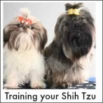 Training the Shih Tzu