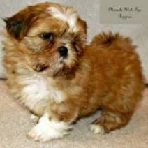 Link to Available Puppies Page