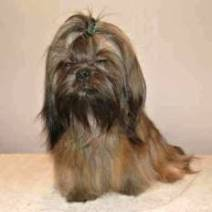 Link to Our Shih Tzu Dads