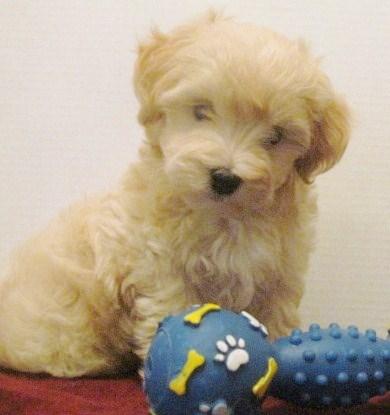 Apricot Malti-Poo Puppy