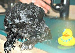 Black Shih Tzu Puppy Getting a Bath