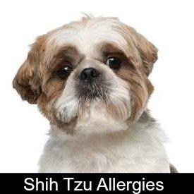 Shih Tzu Allergies