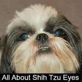 Shih Tzu eye problems