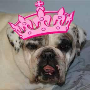 Helda, Bulldog is a wearing a tiera.