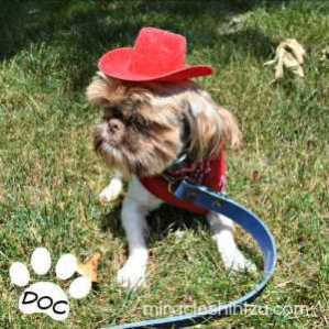 Liver and White Adult Male Shih Tzu