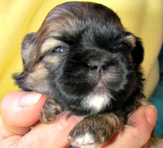 3-week-old-Shih Tzu Puppy