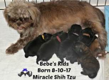 Shih Tzu Mom and 6 puppies nursing.