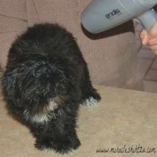 Black Shih Tzu Being Dried after a Bath