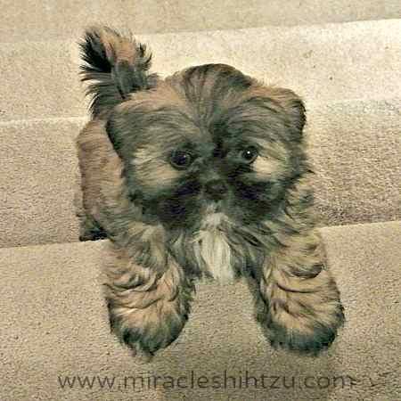 Puppy Video:  Shih Tzu Puppy Jake