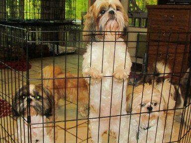 Separation Anixiety in Shih Tzu Dogs