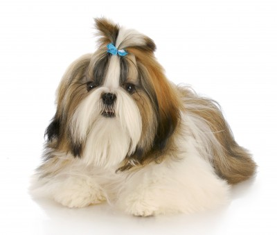 Shih Tzu Facts:  An Ancient Breed