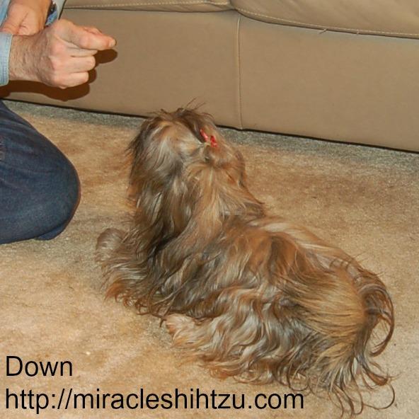 Shih Tzu Training:  Teaching the Down Command
