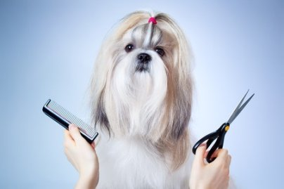 Shih Tzu Facts:  Grooming