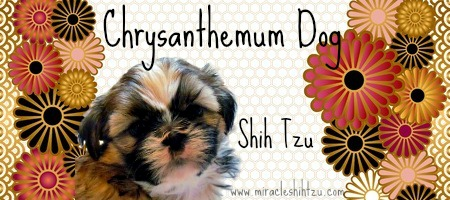 Shih Tzu Facts:  Chrysanthemum Dog