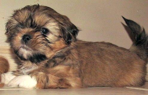 5-Week Old Puppy