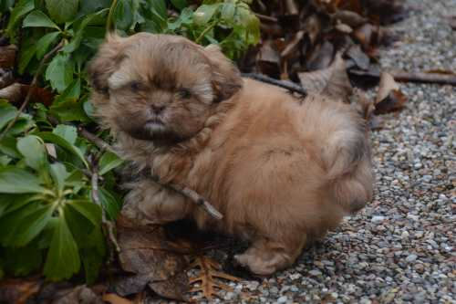 Six week old Shih Tzu