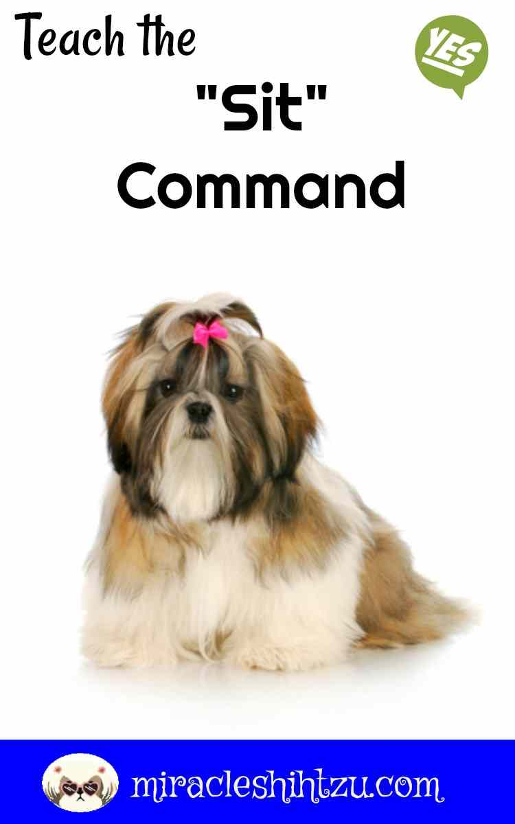 Teach your Shih Tzu how to Sit, using the