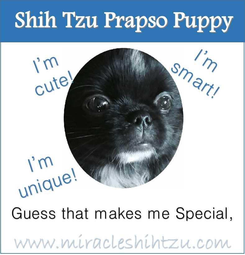 Shih Tzu Prapso Puppy Infographic