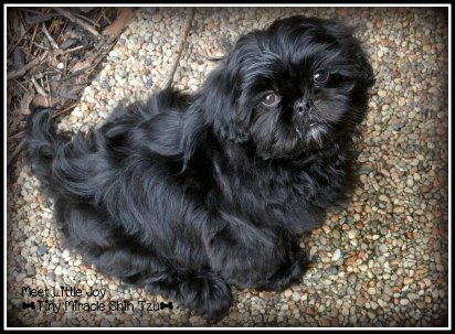Eight Week Old Shih Tzu Puppy