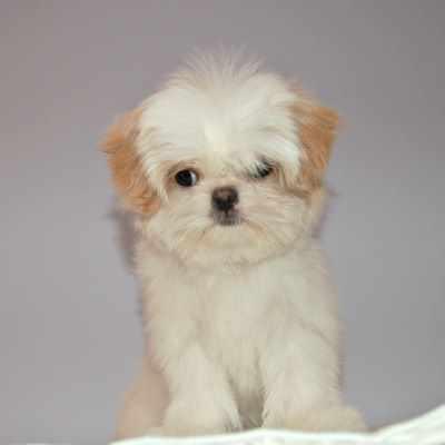 Shih Tzu Prapso Puppies: What are they?