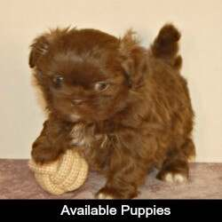 Link to Miracle Shih Tzu's Available Puppies Page