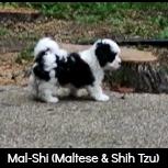 Maltese and Shih Tzu Designer Dog