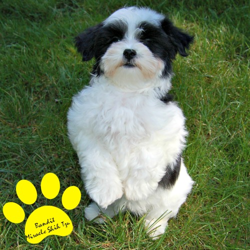 Black and White Mal Shi Puppy at 10 weeks old.