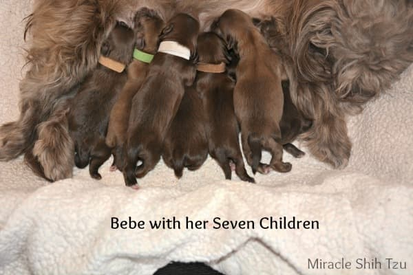 Shih Tzu Pregnancy What You Can Expect