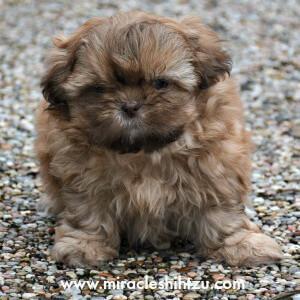 Shih Tzu Boy Puppy