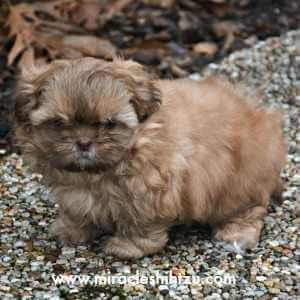 Red/Gold Liver Shih Tzu Male Puppy at 6 weeks of age