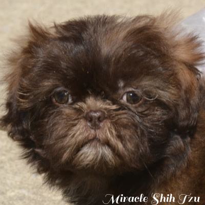 Face view of a Chocolate Shih Tzu puppy