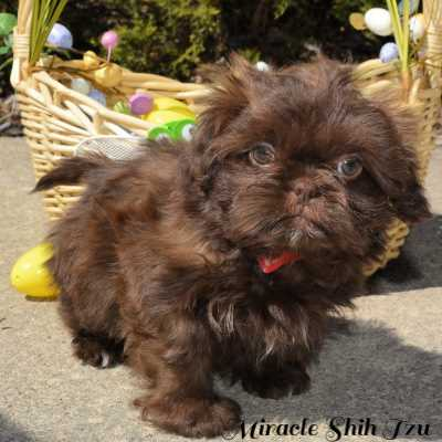 Chocolate colored Shih Tzu puppy is posing for the camera in front of an Easter basket