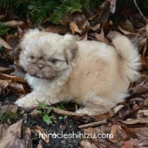 Cream colored liver Shih Tzu Male Puppy