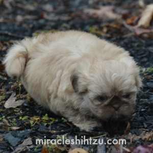 Shih Tzu Puppy Lying in the garden