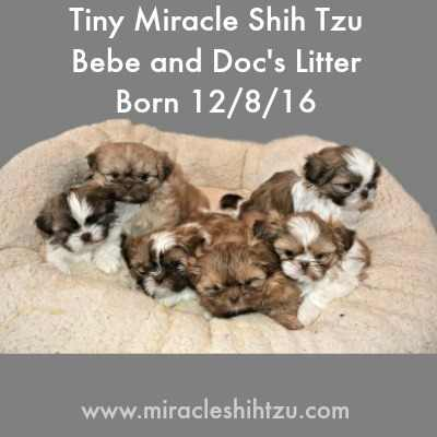 A litter of six Shih Tzu Puppies at six weeks old