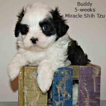 Black and White Maltese - Shih Tzu Hybrid