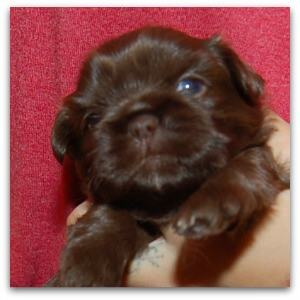 This puppy is not two weeks old and her eyes and ears have opened.