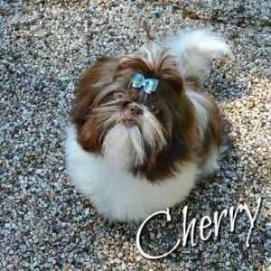 Available Shih Tzu Puppies in NE Ohio:  Cherry