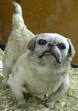 Chinesehappa dog