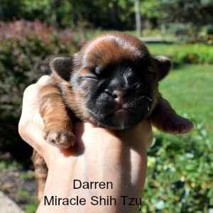 One week old Shih Tzu Baby