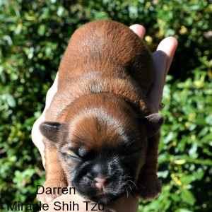 One Week Old Shih Tzu Male Puppy