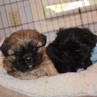 Two Boy Shih Tzu Puppies