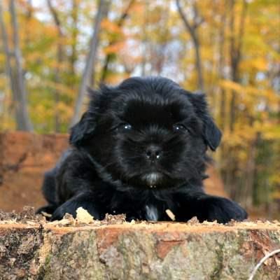 Larry, A Black Shih Tzu Male Puppy
