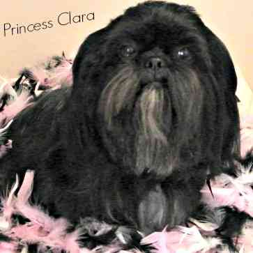Adult black shih tzu