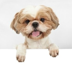 Shih Tzu Puppies For Sale In Ne Ohio Cleveland Akron