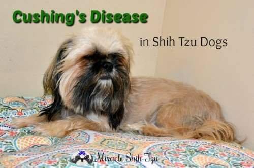 Cushing's Disease in Shih Tzu Dogs
