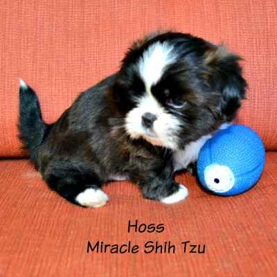 Male Shih Tzu Puppy is posing with a blue football.